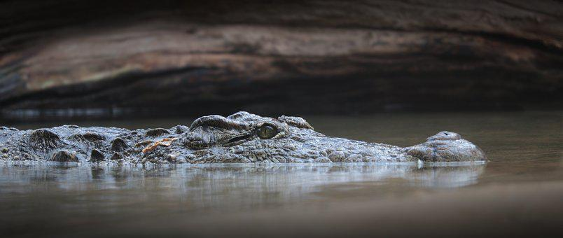 900+ Free Crocodile & Alligator Images - Pixabay