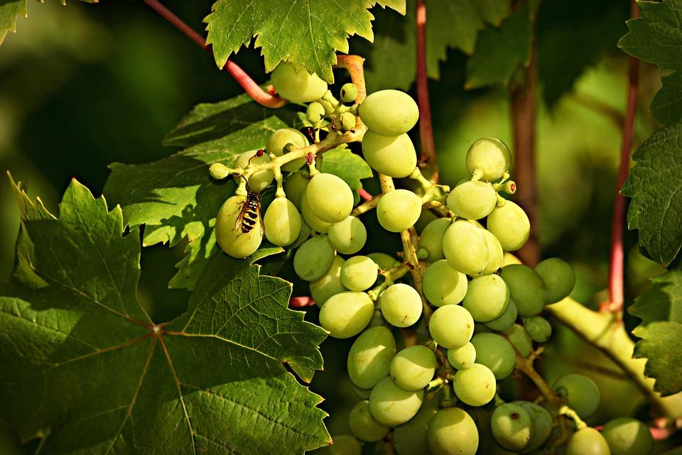 ブドウ, フルーツ, つる, ブドウ園, ワインの葉, 食品, 新鮮な, 甘い, 白ぶどう, 昆虫, 葉