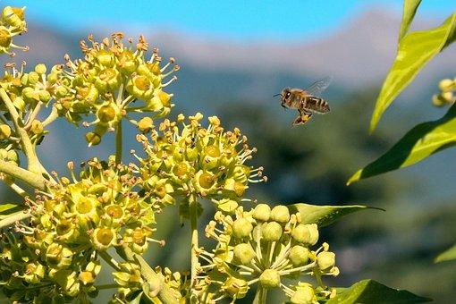 Abeilles, Pollen, Abeille À Miel, Nature