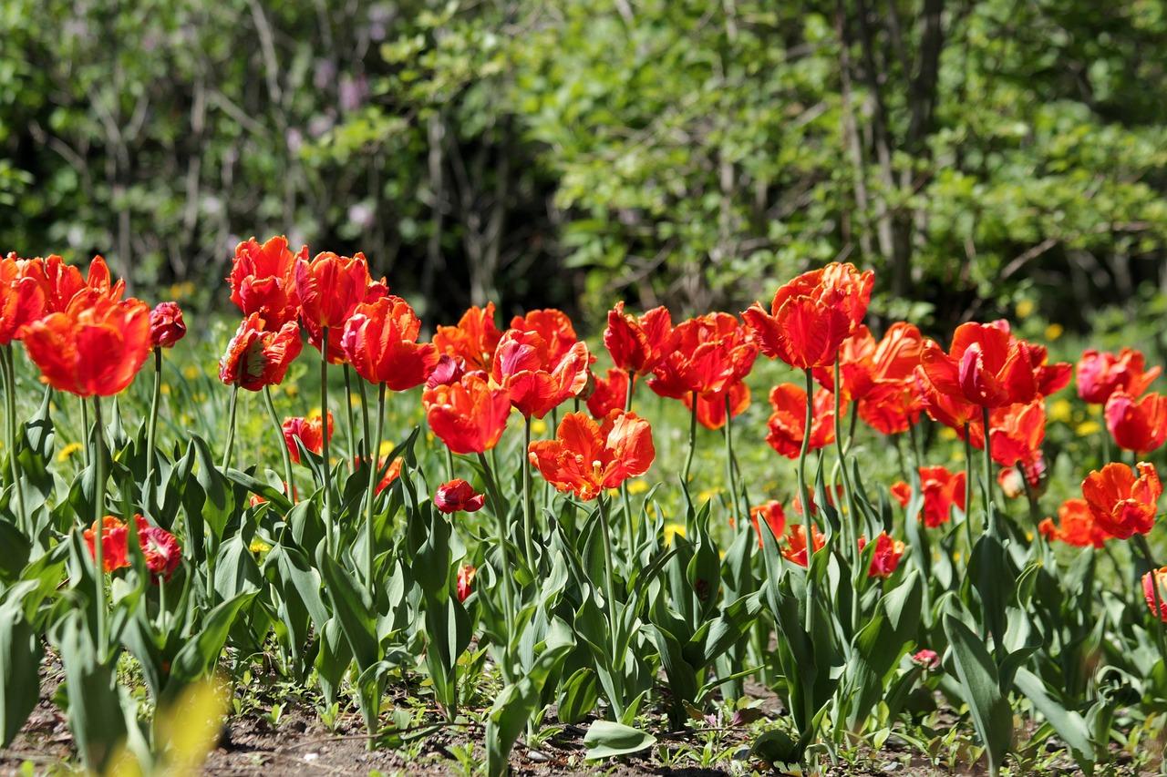 иерусалимский тюльпан фото представляют