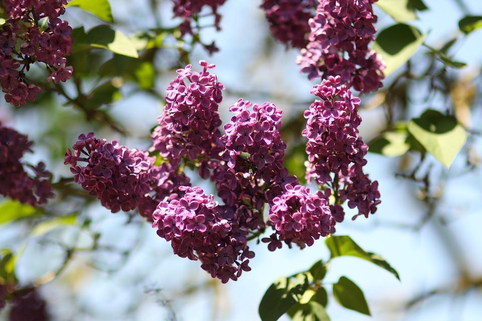 Fleur Lilas S - Photo gratuite sur Pixabay