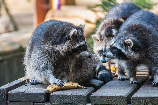 Raccoon, Group, Animals, Animal World