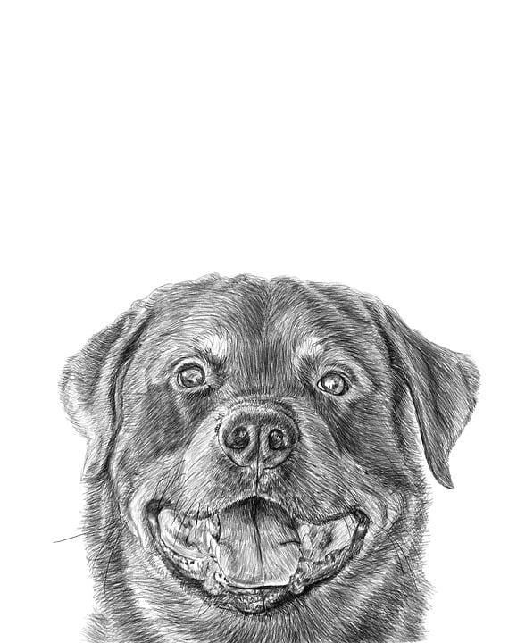 Rottweiler Creion Desen Imagine Gratuită Pe Pixabay