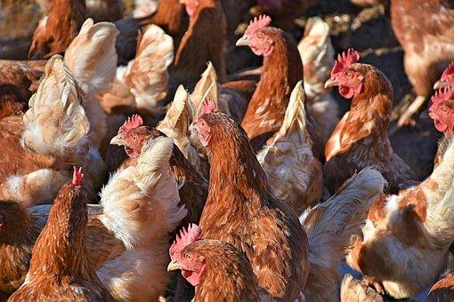 Pollos, Pollos Tropel