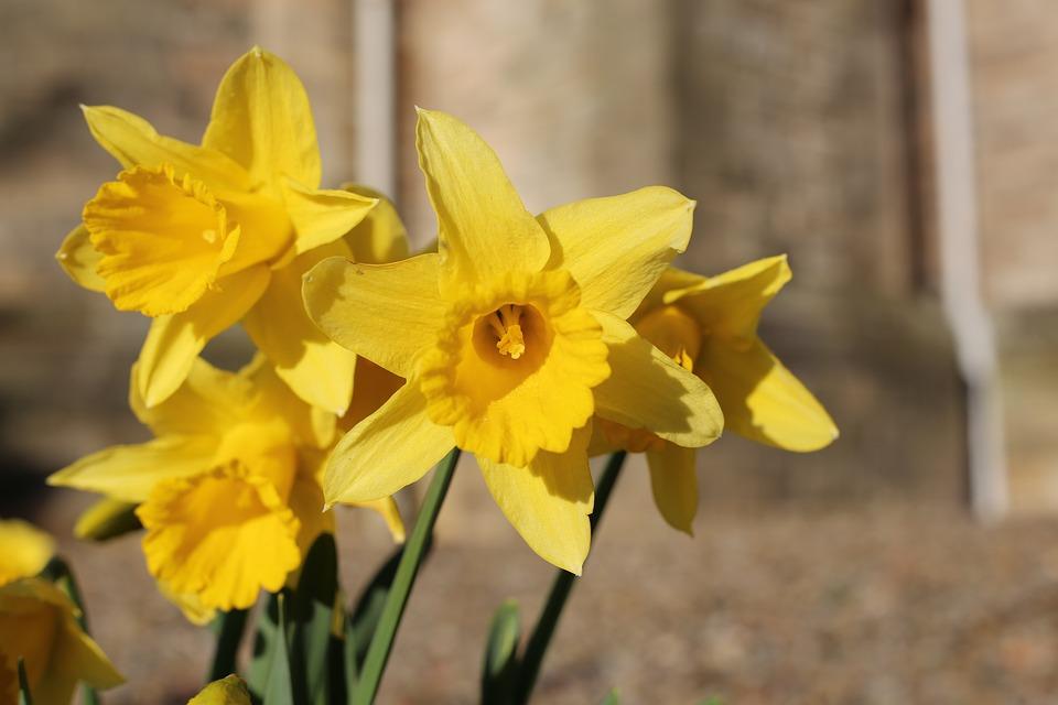 Dafodil Fleur Jonquille Photo Gratuite Sur Pixabay