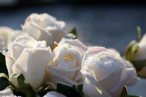 Roses, Fleurs, Hiver, Frost, Congelés