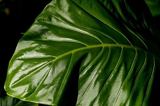 Φύλλο, Πράσινος, Τροπικό Δάσος, Άγριος