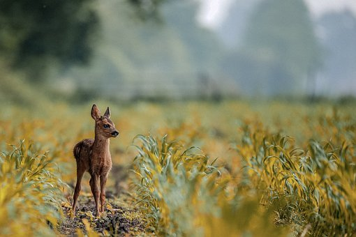 Deer, Animal, Lovely, Baby, Nature