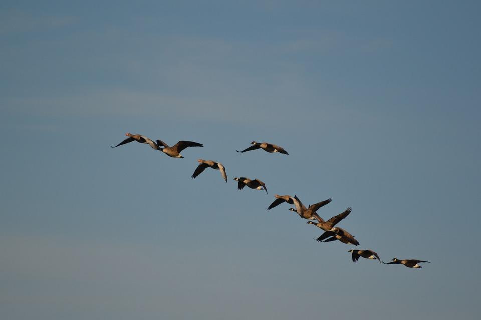 newest collection 92d36 9ff59 Wildgänse Natur Vogelschwarm - Kostenloses Foto auf Pixabay