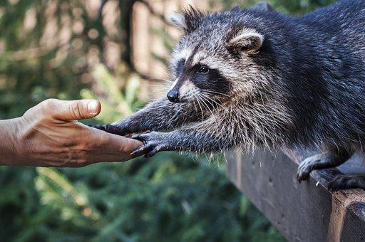 300+ Raccoon Pictures & Images [HD] - Pixabay - Pixabay