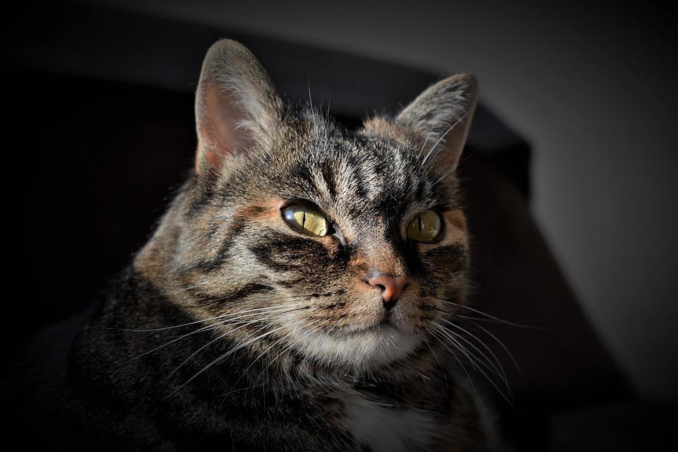 ffd45de860f1 Γάτα Κατοικίδιο Ζώο Σκουμπρί - Δωρεάν φωτογραφία στο Pixabay