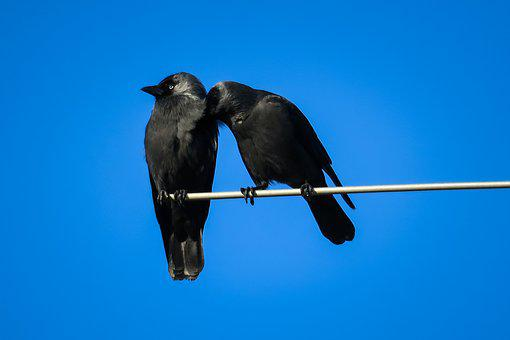 Jackdaws, Couple, Clean, Care, Cleaning