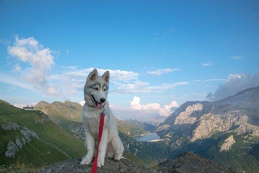 Husky, Siberian Husky, Husky Puppy, Dog