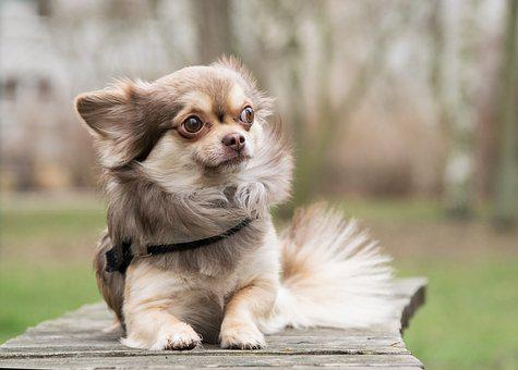 Chihuahua, Dog, Animal, Brown, Male, Fur