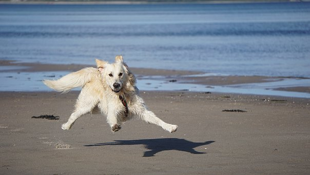 Dog, Golden Retriever, Pet, Animal, Dear