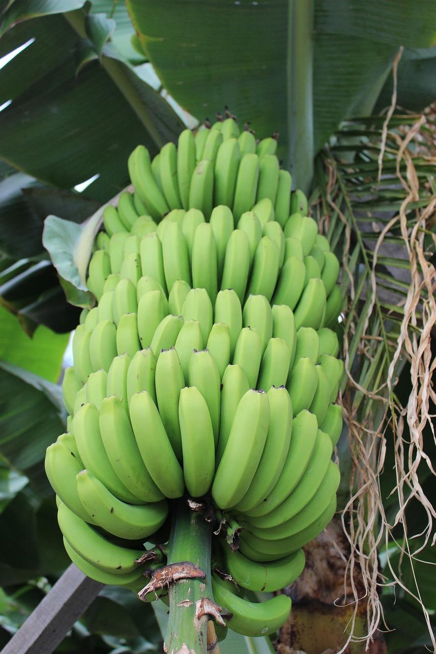 новые банановый куст картинки подавали