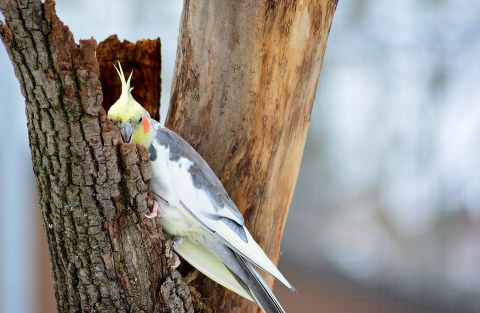 Cockatiel: Reasons Why It Is A Good Pet