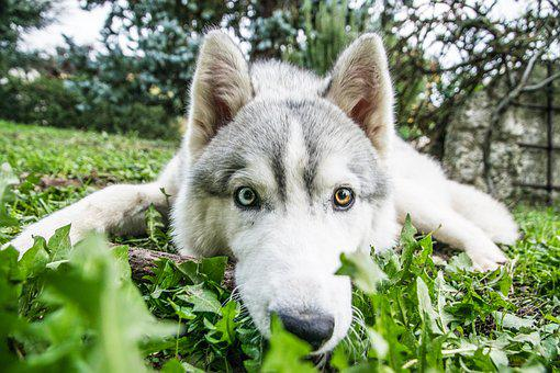 Husky, Siberian Husky, Dog, Pet, Funny