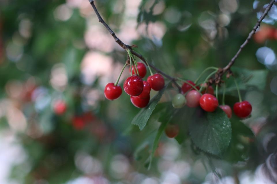 Cirese Copac Vara Fotografie Gratuită Pe Pixabay