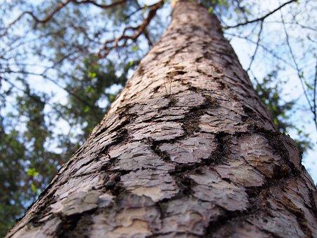 Árvore, Casca, Floresta, Pinheiro, Natureza