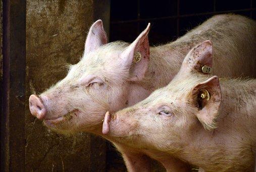 В Омской области открыт репродуктор на 1700 свиноматок