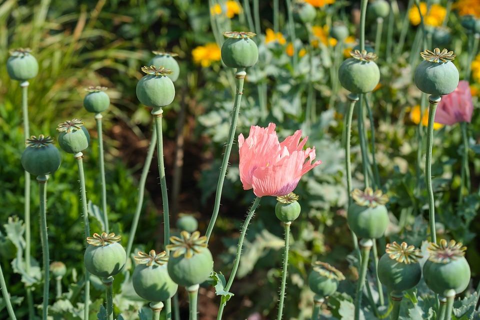 Vườn, Hoa, Thuốc Phiện, Màu Hồng, Vĩ Mô