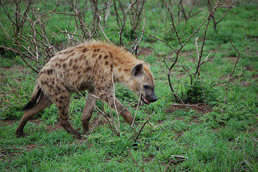 Image of: Dog Hyena Wild Africa Scavenger Predator Pixabay Hyena Images Pixabay Download Free Pictures