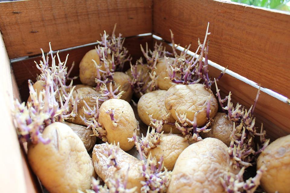 De Pommes De Terre, Nature, Alimentation, Légumes