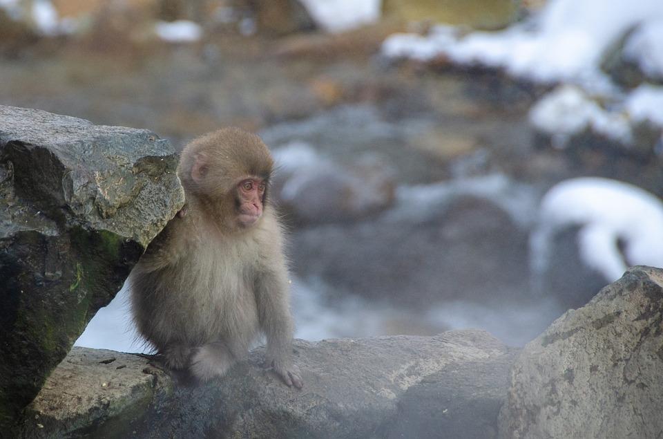 Mono De La Nieve Macaco Japonés Foto Gratis En Pixabay