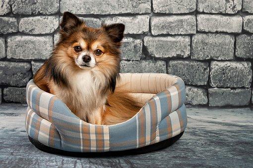 Chihuahua, Dog, Pet