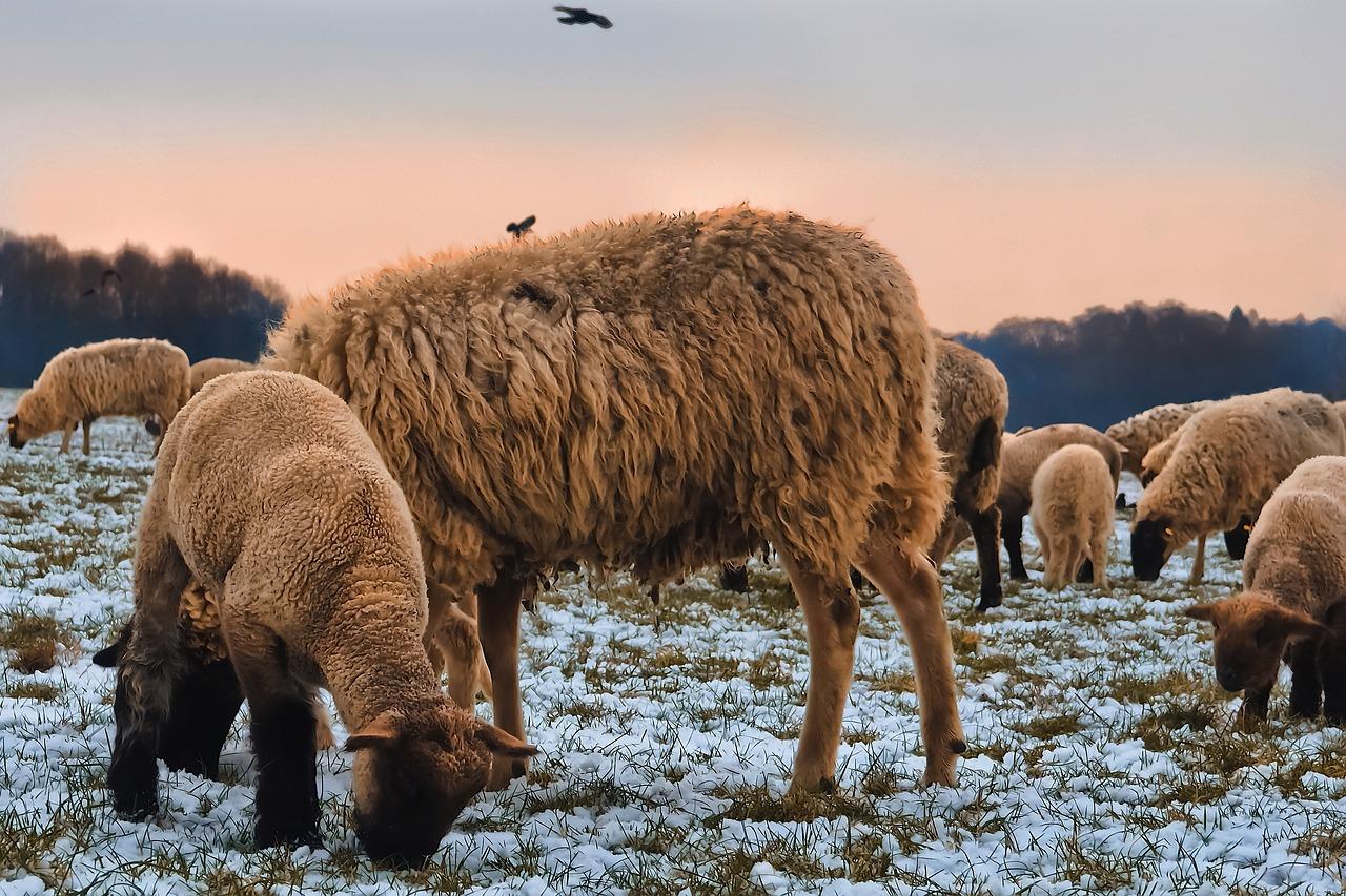 фото овцы спрятались продюсера шутят
