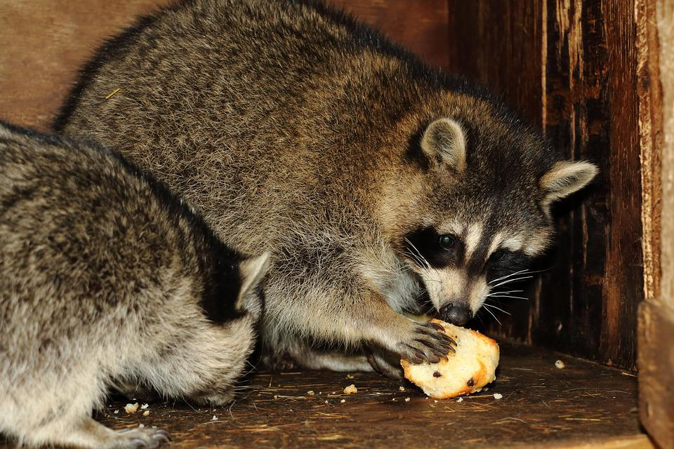 What do raccoon eat