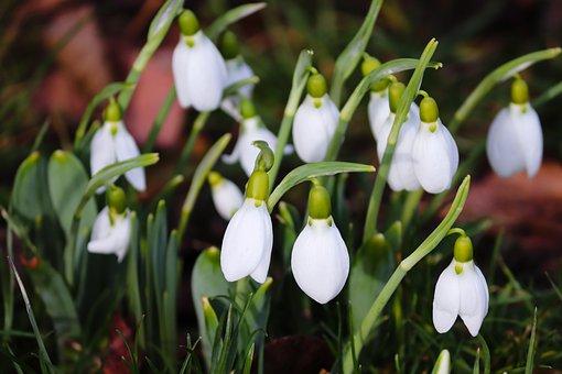 Hóvirág, Tavaszi, A Tavasz