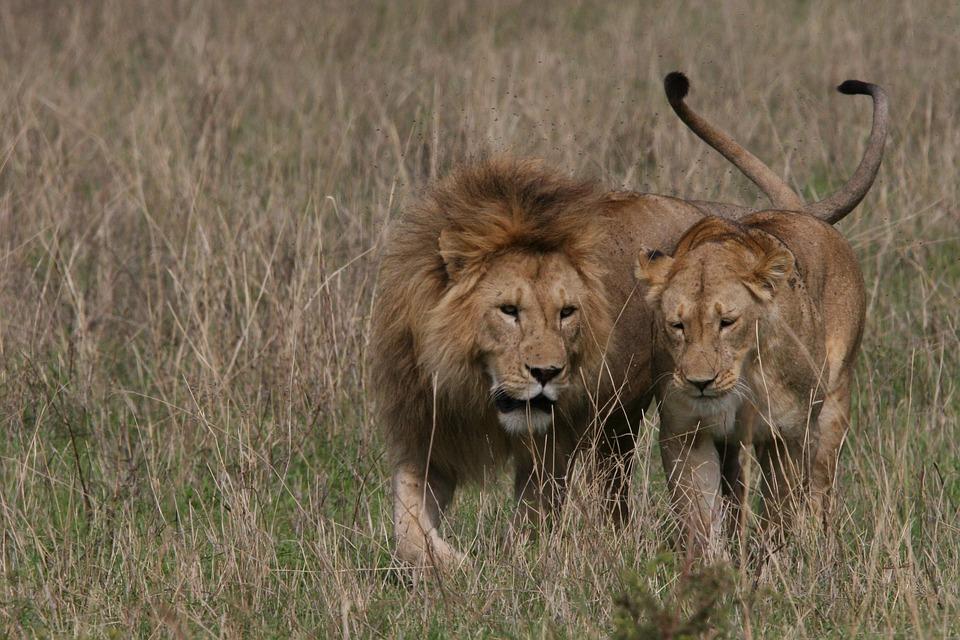 Löwen Paar Liebe Kostenloses Foto Auf Pixabay