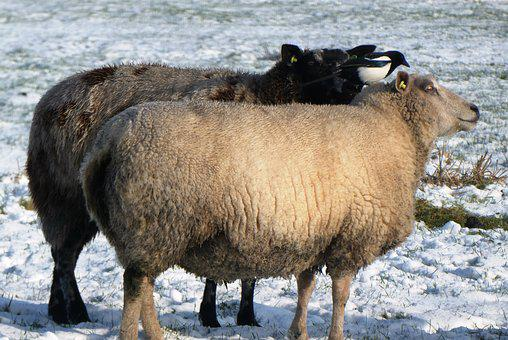Sheep, Magpie, Snow, Cold, Winter