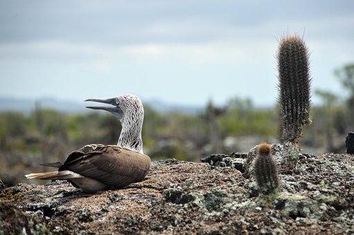 Ave, Galápagos, Piquero, Patas Azules