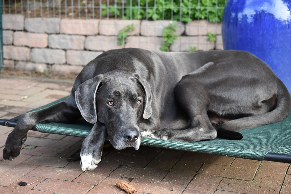 Great Dane, Dog, Summer, Pet, Cute, Animal, Rest, Large