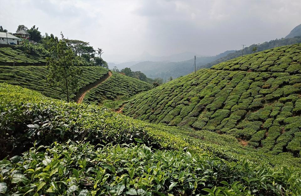 Munnar, India, Tea, Nature, Mountain, Tourism