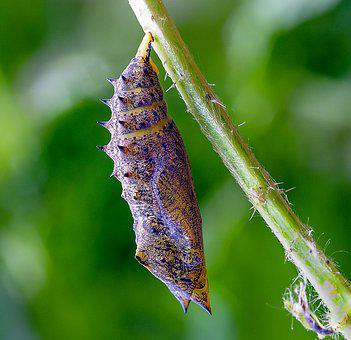 Pupa, Cocoon, Butterfly, Chrysalis