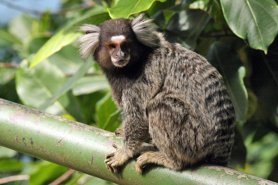 Mico, Nature, Natureza, Animal, Selvagem, Fauna