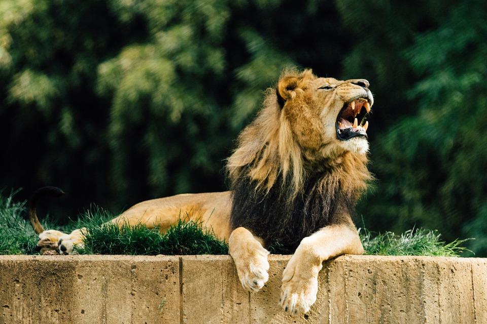 Leijona, Eläintarha, Eläinten, Mies, Safari
