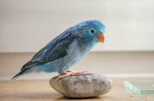 Animals, Parrotlet, Blue, Bill, Plumage