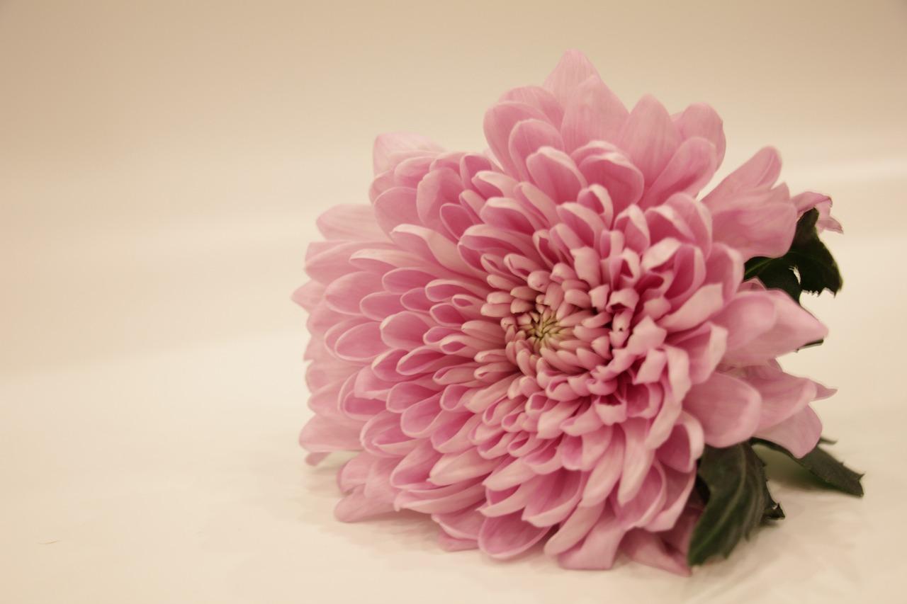 фото открытка хризантемы тут собраны