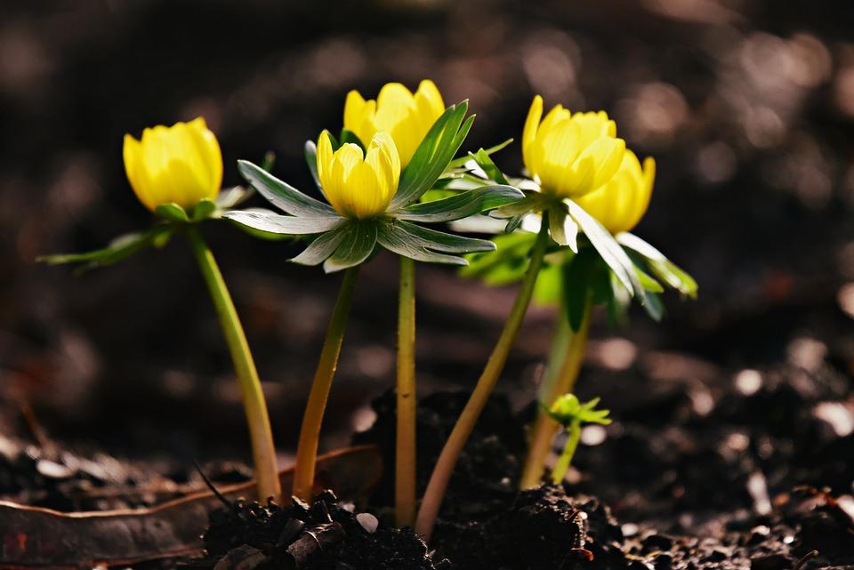 Aconit D Hiver Fleur Plantes Photo Gratuite Sur Pixabay