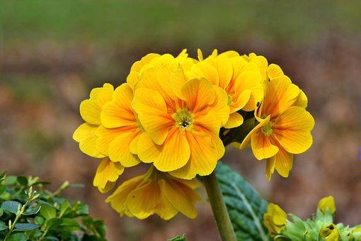 Primrose, Flower, Flowers, Yellow, Bloom