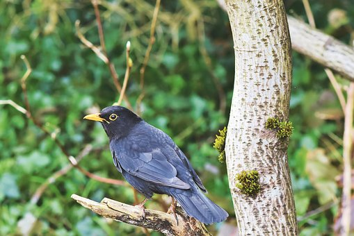Blackbird, Burung, Songbird, Hitam, Bill