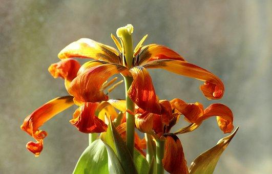 Flowers, Flower, Tulips, Menopause