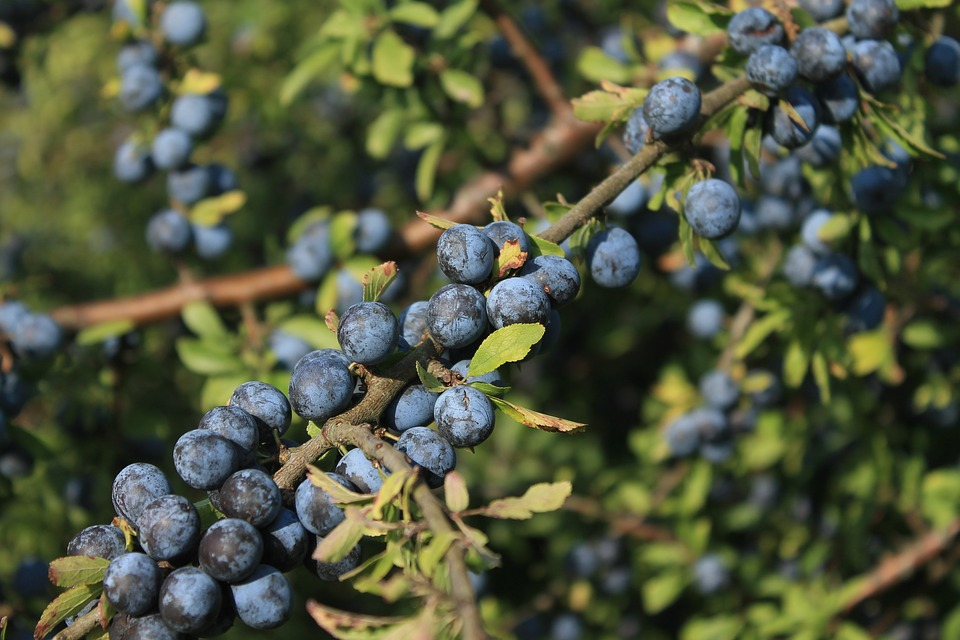 juniper de fructe de pădure)