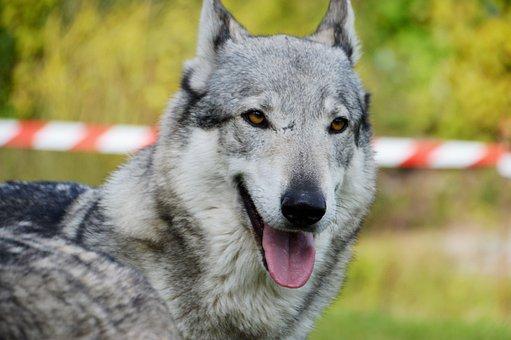 Animal, Lobo-Cão, Adestramento