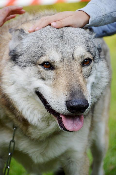 Animal, Lobo-Cão, Adestramento, Checoslováquia Wolfdog